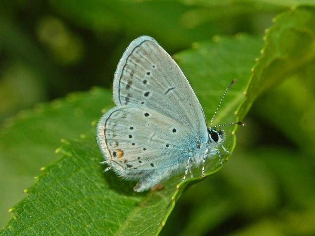 Нижняя часть крыльев голубянки имеет более блёклый тон.