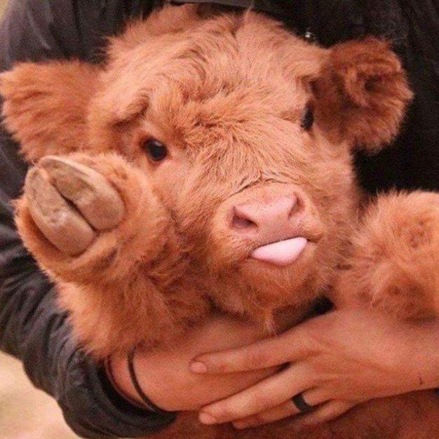 детенышей теленок