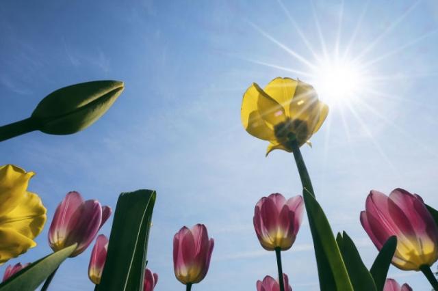 Миллионы цветущих тюльпанов весной украшают многочисленные цветочные поля в Нидерландах.