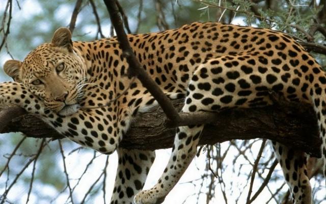 Фото леопарда
