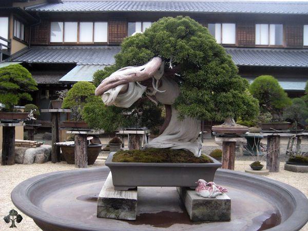 800 - летнее дерево в музее Shunkaen