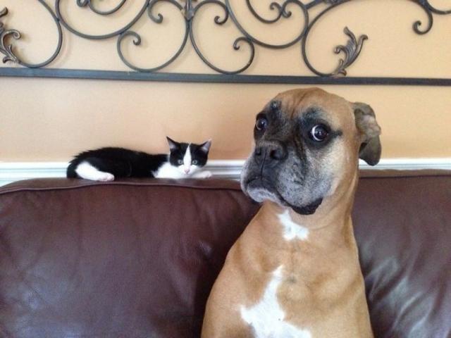 Фото: Боксеры: милейшие снимки грозных с виду собак, которые тают от обнимашек (Фото)