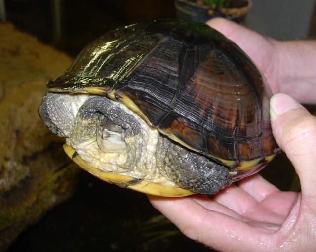Домашняя красноухая черепаха может прожить при хорошем уходе около сорока лет.