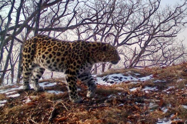Дальневосточный леопард, снимок фотоловушки (3).JPG