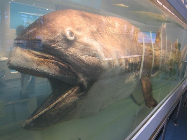 Считается, что большеротая акула упоминалась в древних легендах о чудовищах, водившихся в водах Мирового океана.