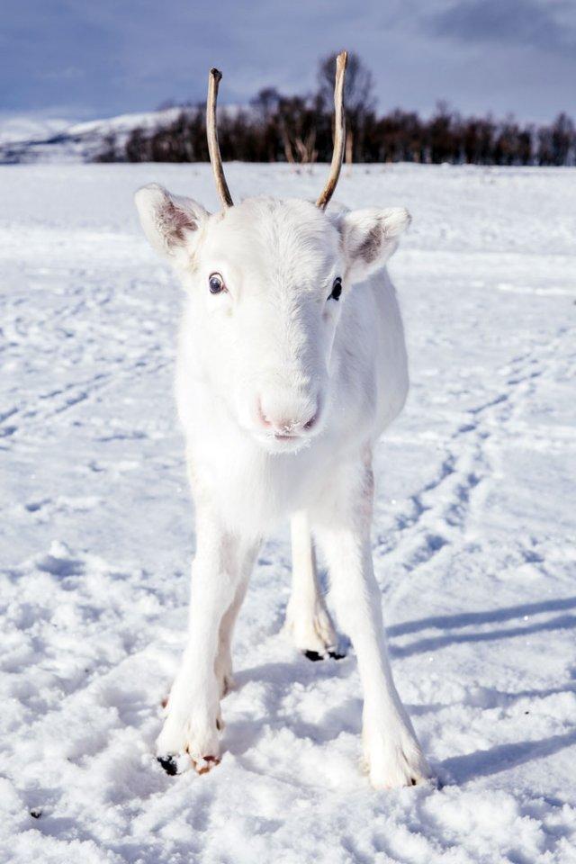 Природное чудо: в сети появились снимки редкого белого оленя - фото 414470