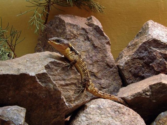 Самцы агрессивны (на фоне самцов других видов поясохвостов), поэтому в группе держат только одного самца.