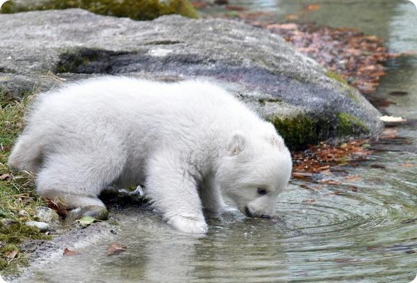 Знакомство с белым медвежонком из зоопарка Хеллабрунн