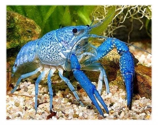 Половая зрелость у голубых раков наступает в 8-10 месяцев.