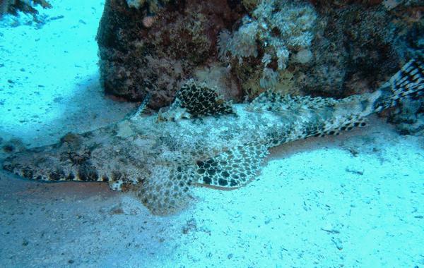 ryba krokodil5