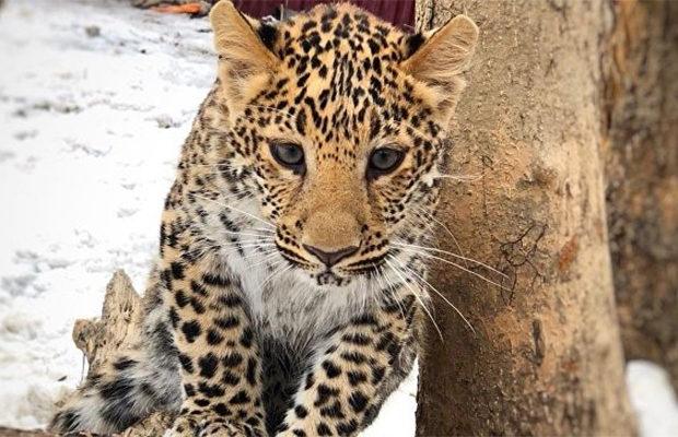 леопард_4