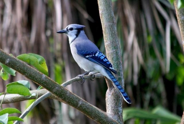 Синяя сойка - очень красивая птица с длинным ярко-синим хохолком.