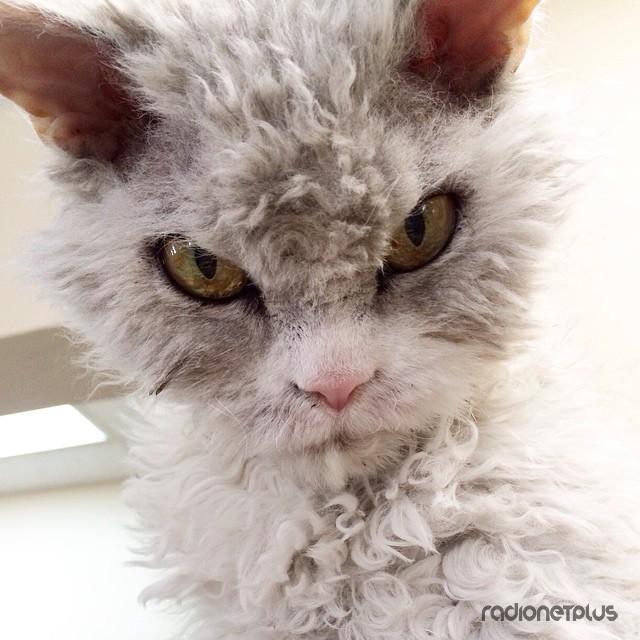 Альберт - Суровый Кот в Овечьей Шкуре