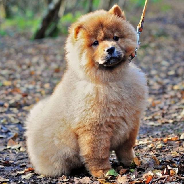 Фото: Китайский лев: снимки очаровательных собак породы чау-чау (Фото)