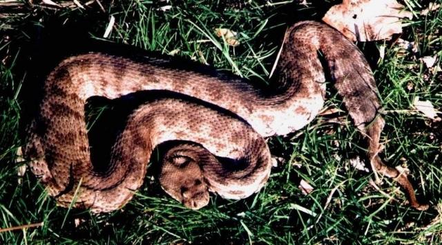 Гюрза - очень ядовитая змея.