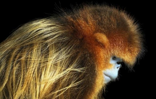 Рокселланов ринопитек - крупная обезьяна с густым мехом выдерживает очень низкие температуры.