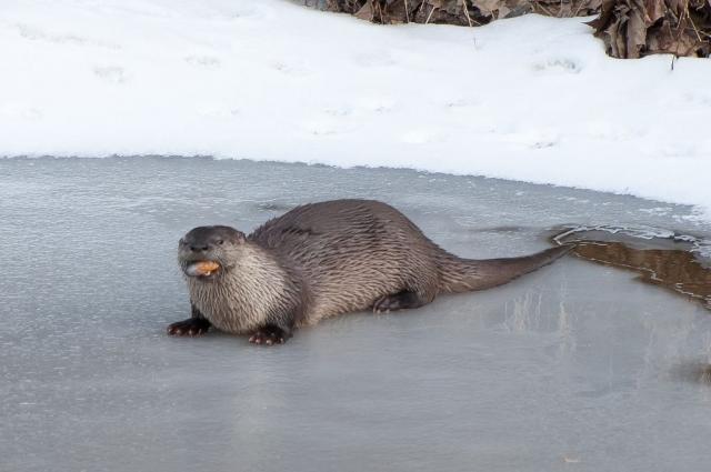 Выдра на льду реки поедает добытого моллюска