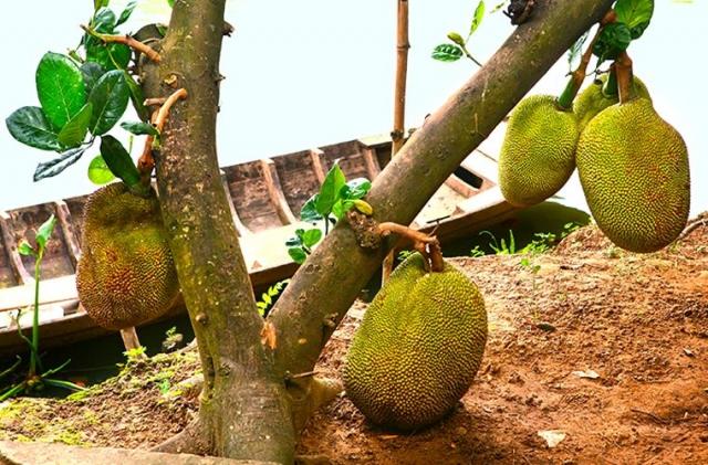 Фото: Потрясающие экзотические деревья с огромными плодами (Фото)