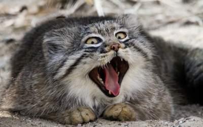 Манулы: портреты самых эмоциональных кошек на планете. Фото