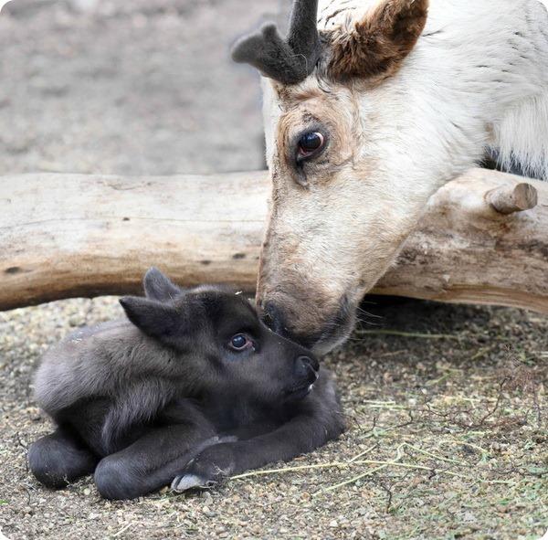 В зоопарке Брукфилда на свет появился северный олененок