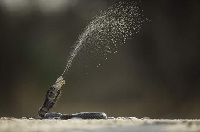 Скорость, с которой летит яд в глаза жертвы, опережает реакцию добычи и змея выигрывает схватку.