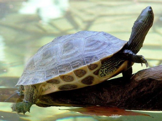 Водные черепахи (Mauremys).