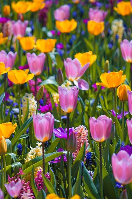 Тюльпанные поля – главная «весенняя» достопримечательность в Нидерландах.