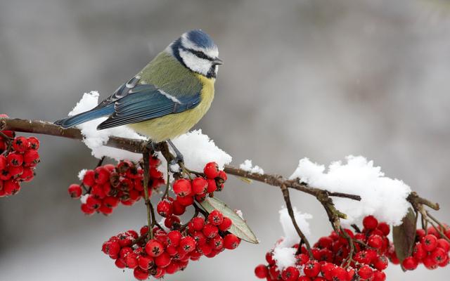 Картинки по запросу Синица  снег зима