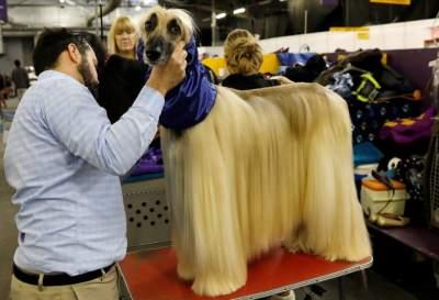Как в США проходит собачий «конкурс красоты». Фото