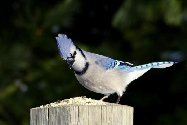 Голубая сойка - умная, хитрая и коварная птица.