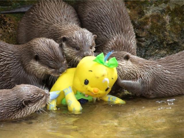 Выдры в зоопарке изучают игрушку