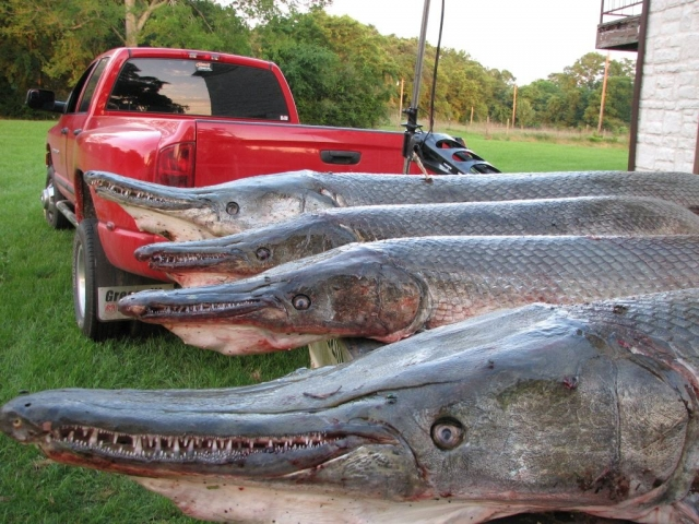 Миссисипский панцирник, или рыба-аллигатор (Atractosteus spatula)