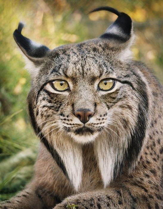 Эта рысь является самой редкой кошкой планеты.