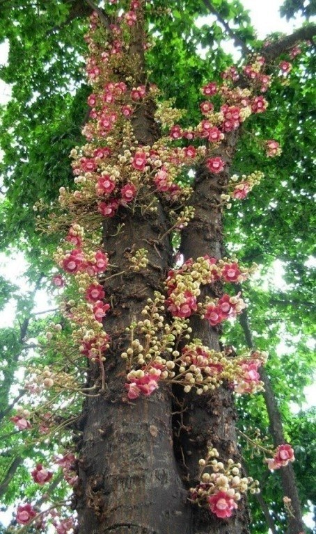 Самое шумное дерево - это так называемое пушечное дерево, растущее в Гвиане. Плоды его представляют ...