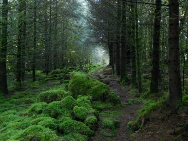 Лес на западе Ирландии.