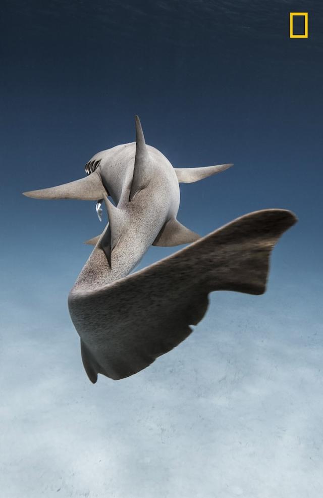 Усатая акула-нянька на Багамах