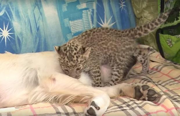 леопард_3