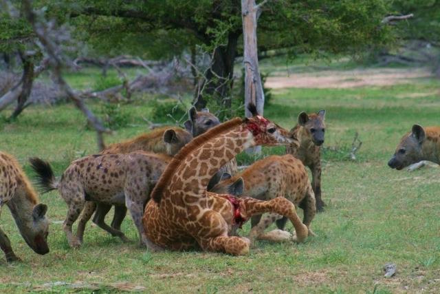 Стая гиен поймала молодого жирафа