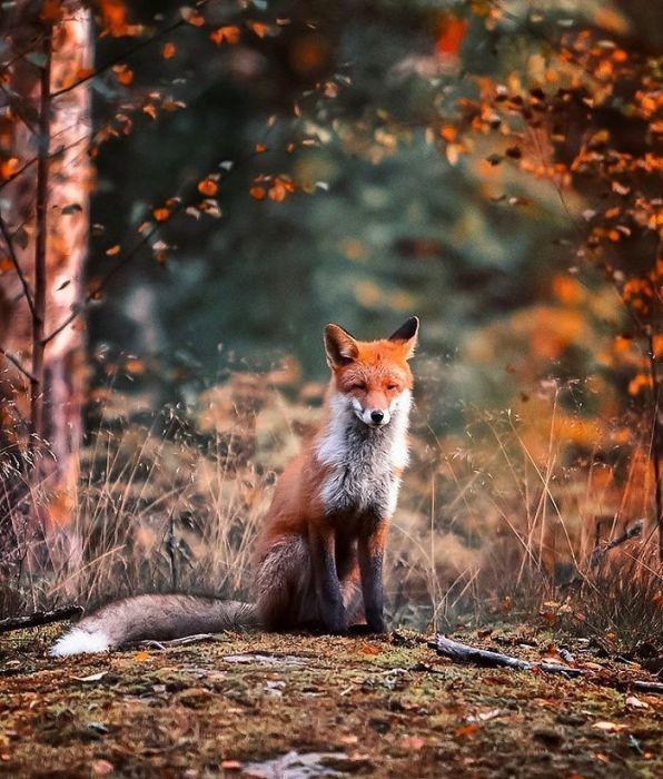 Восхитительная лиса, греющаяся под лучами нежного солнца.