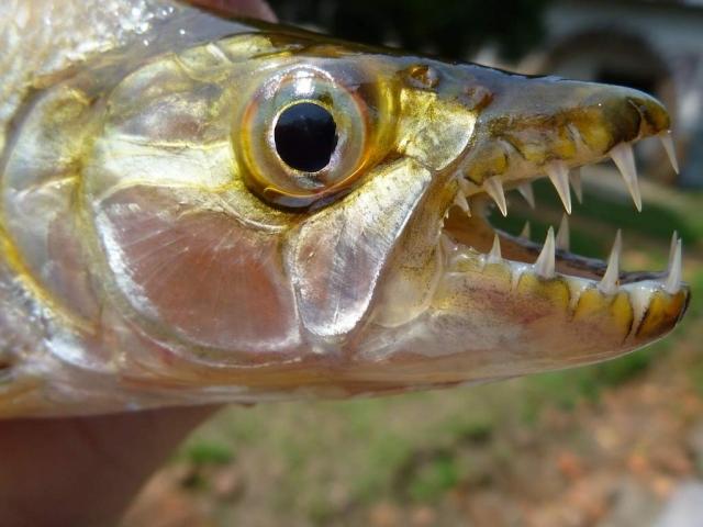 Большая тигровая рыба (Hydrocynus goliath).