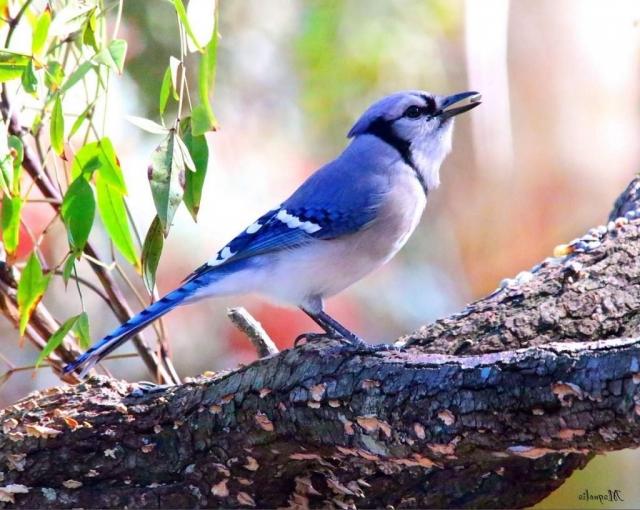 Голубые сойки живут в парах или в небольших семейных группах.