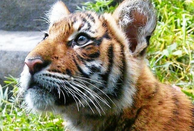День тигра: 10 фактов о самой большой кошке.Вокруг Света. Украина