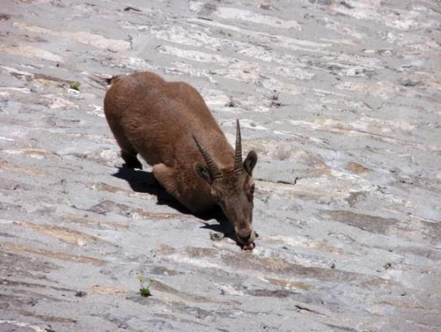 Альпийский горный козел взобрался на отвесную стену плотины