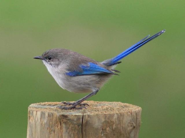 Самцы вне сезона размножения, самки и птенцы имеют преимущественно серо-коричневую окраску.