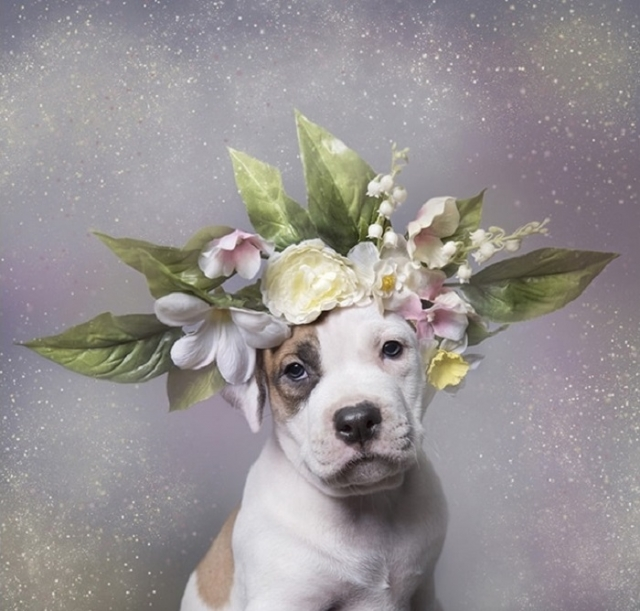 Питбуль в нежном цветочном украшении.