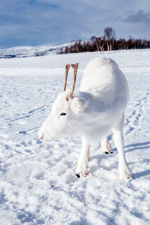 Природное чудо: в сети появились снимки редкого белого оленя - фото 414474