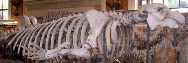 скелет морской коровы стеллера